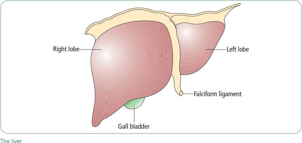 Right lobe Left lobe Falciform ligament Gall bladder The liver