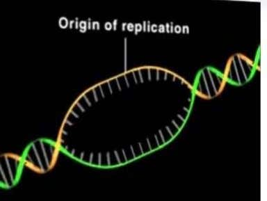 there is a single site for DNA replication origin. Formation of the replication fork As the
