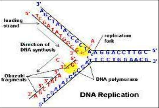 Replication of dsDNA is bidirectional — that is, the replication forks move in opposite directions from