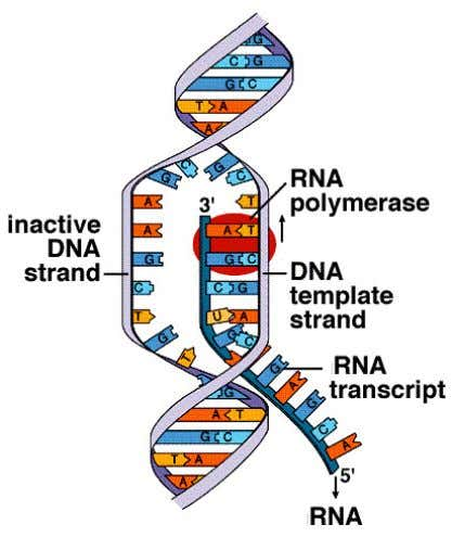 can be intrinsic (spontaneous) or dependent upon the participation of a protein known as the ρ