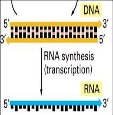 into three phases: initiation, elongation, and termination. Initiation Transcription begins with the binding of the