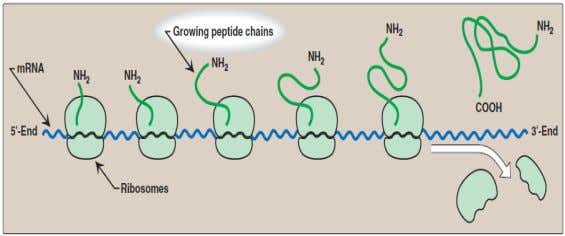 then advances three nucleotides toward the 3'-end of the mRNA. Polypeptide chain elongation 3. Termination 108