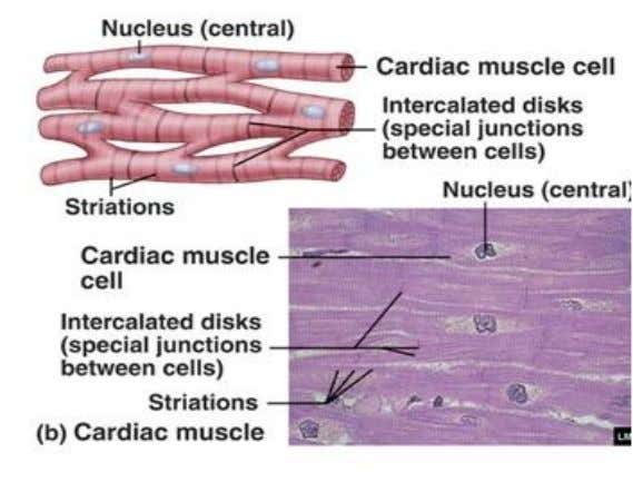 connected to the bones via tendons. b. Cardiac muscle: It is found only in the wall
