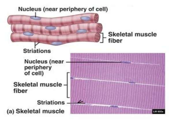 functions are controlled; either voluntary or involuntary. a. Skeletal muscles: Muscles attached to skeleton. They