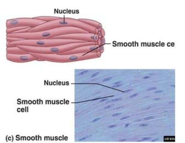 muscles are under automatic control, they are involuntary. Smooth muscles decrease the diameter of blood vessels