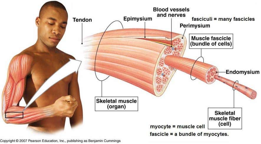 the diameter of blood vessels and propel food through the stomach and intestines, help in respiration.