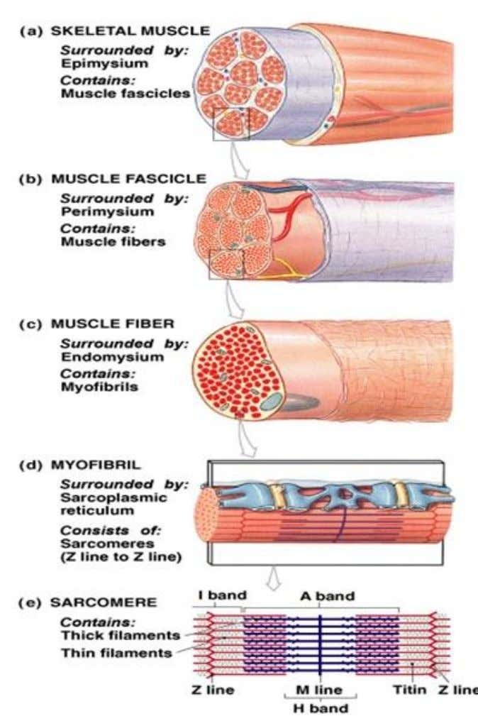 (vascularization).  Connective tissue covers and supports each muscle fiber and reinforces the muscle as a