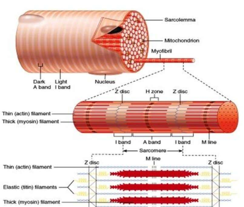 perimysium membrane and contains hundreds of muscle fibers. Muscle fiber is an elongated cell surrounded by