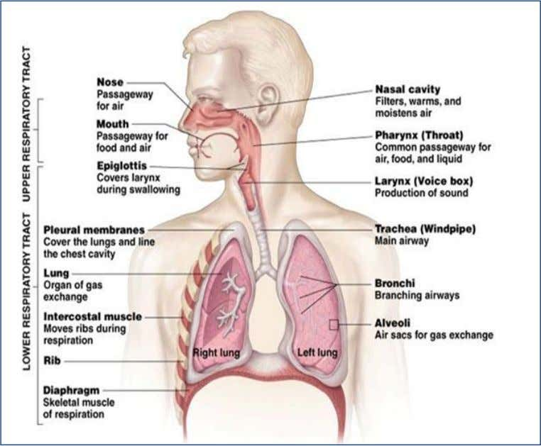 The Respiratory System 24