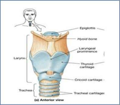 of defense and provide immunity to the respiratory system. 3- Larynx (voice box ): Located just