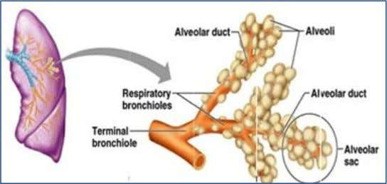 from terminal bronchioles), which lead to alveolar duct . 3. Alveolar ducts and alveoli are the