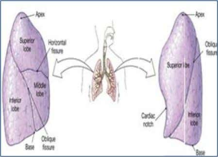 and blood can exchange gases with air at alveolar leve l. The pleura : covers the