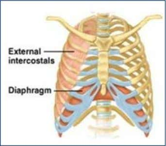 diameter (from front to back), so lungs expand in width. Abdominal muscles also help in the