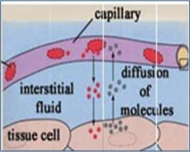 in capillary blood to low concentration in alveolar air. 1. Internal respiration: It is the gas