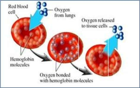 Cellular respiration occurs in the mitochondria. Binding of hemoglobin with oxygen Hemoglobin (Hb) is a red