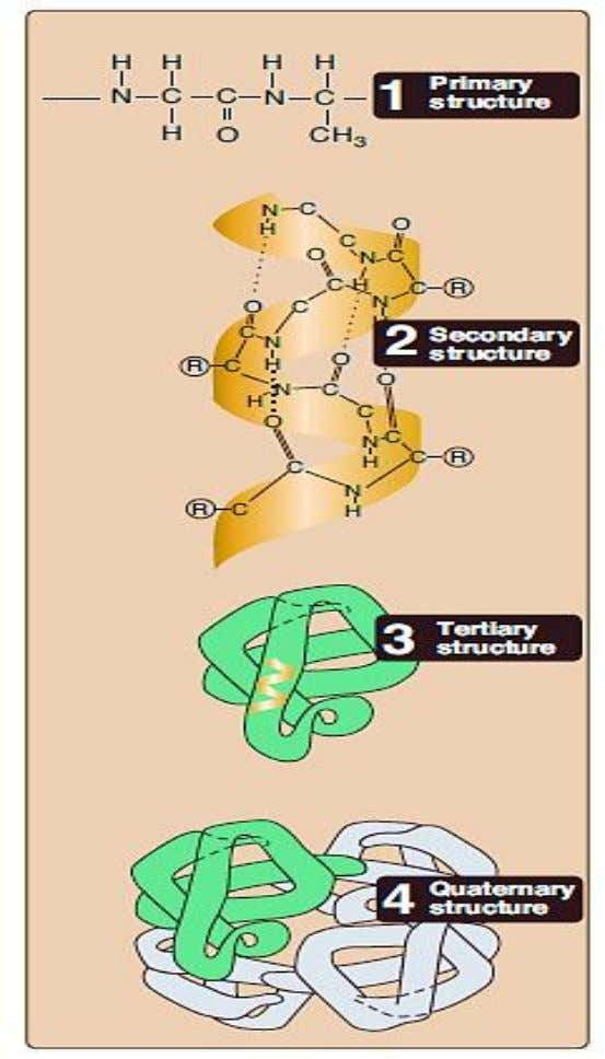 a functional unit. This combination of properly folded two or more polypeptides for a physiological activity