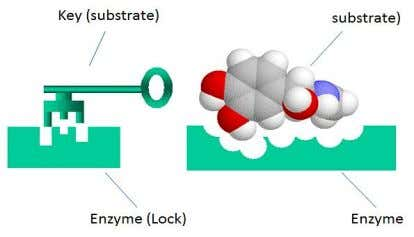 into the enzyme active site like a key fits into a lock. (Lock and key theory