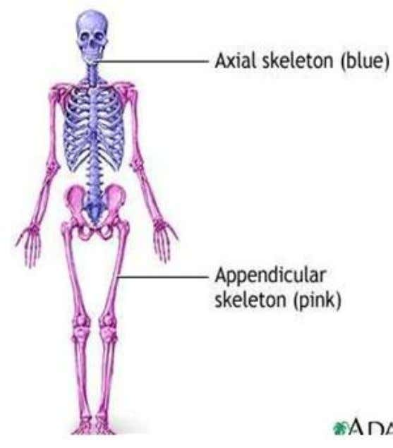 Bones of the Human Body: This system has 206 bones and associated cartilage, tendons and