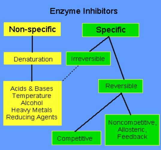portion of the enzyme and are therefore irreversible. Specific Inhibitors : A specific inhibitor effects upon