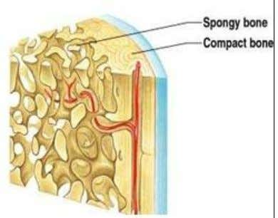bone is lighter and less dense than compact bone. The spongy bone has irregular cavities that