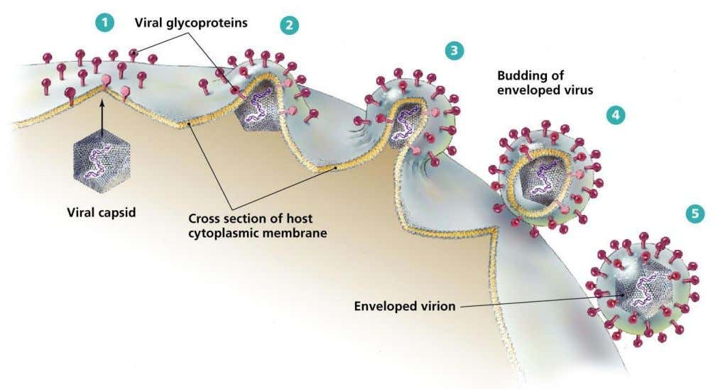 piece of the host's plasma or other, internal membrane. Effects on the host cell Most virus