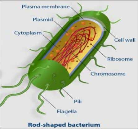 fermentation processes by Louis Pasteur and Robert Koch. Structure In most bacteria, a cell wall is