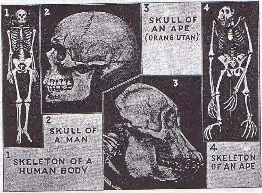 19. Evolution and the Bible Although there ore some points of similarity between the skeletons of