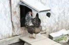 a Great Chicken Coop By Lauren Ware , About.com Guide A silver-laced Wyandotte hen enters her