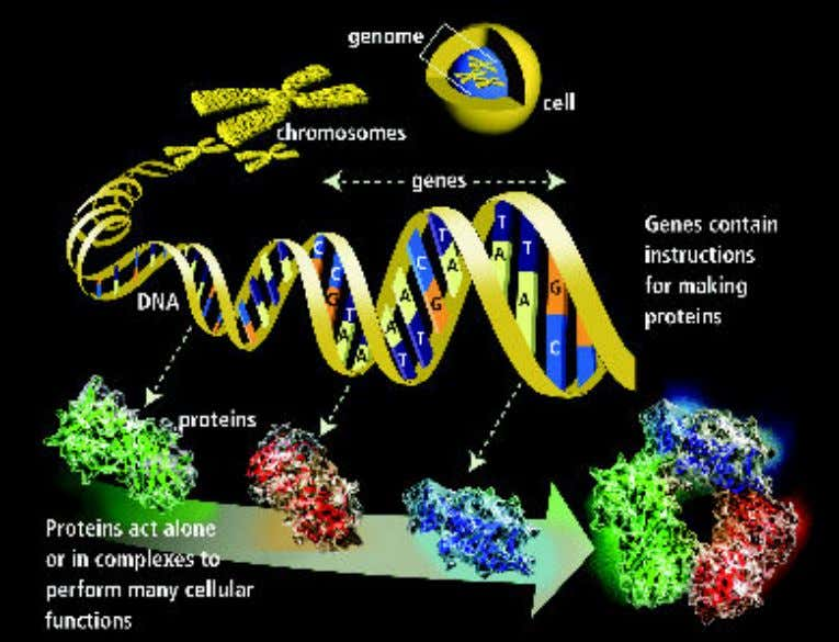 DNA - Deoxyribonucleic Acid DNA is the primary chemical component of chromosomes and the material of