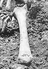 Length of thighbone Approx. length