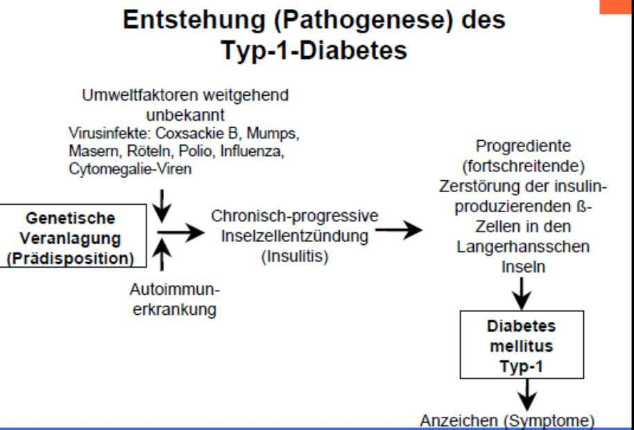 CMV) f. Endokrinopathien (Cushing-Syndrom, Phäochromozytom etc.) g. Gestationsdiabetes Pathogenese Typ I Diabetes