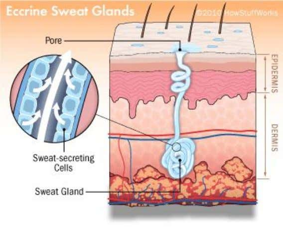 The sweat glands In the sweat glands is formed the sweat , a liquid formed by