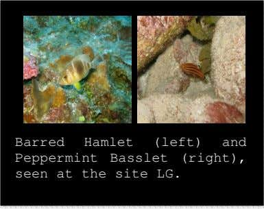 Barred Hamlet (left) and Peppermint Basslet (right), seen at the site LG.
