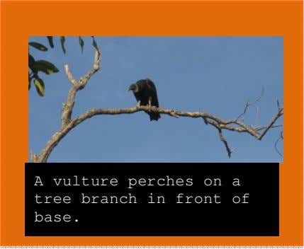 A vulture perches on a tree branch in front of base.