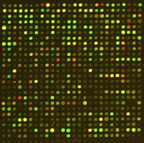 " How is the signal transduced?  Is this a ""true sensor""? http://www.wormbook.org/chapters/www_germlinegenomics"