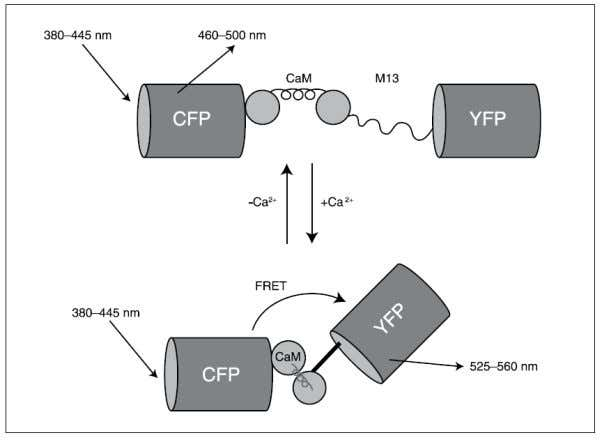 How is the signal transduced?  How is sensor delivered to cells? http://probes.invitrogen.com/media/pis/mp36207.pdf