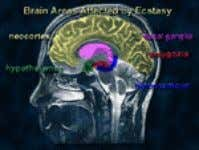 how Ecstasy works was obtained from research with animals. … Slide 6: Brain Areas Sensitive to