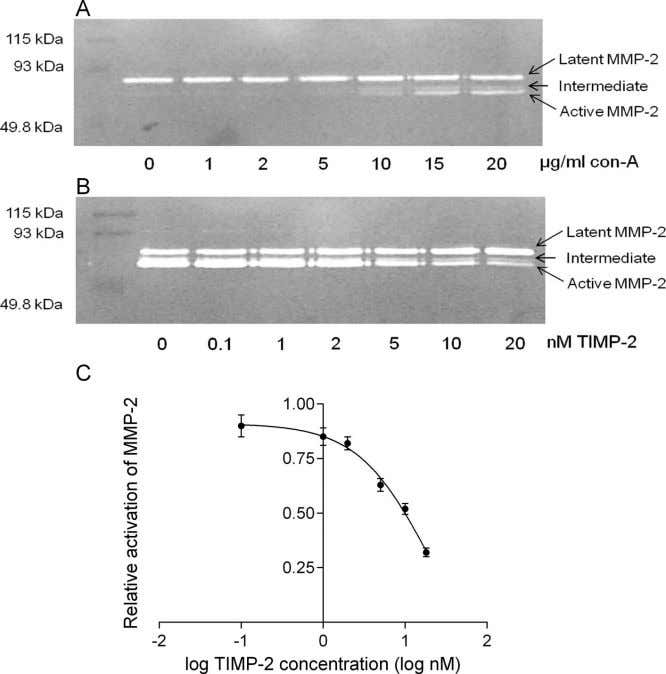 differences in vitreous chamber elongation (Fig. 5B; vehicle F IGURE 3. Con-A promotes MMP-2 activation and
