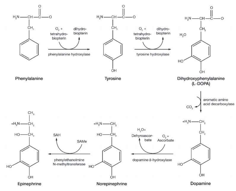 Figure 2. The primary pathway for dopamine synthesis