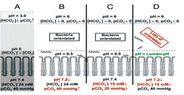 Figure 6. Loss of H. pylori orientation pH and bicarbonate/ CO 2 gradients. Shown are the