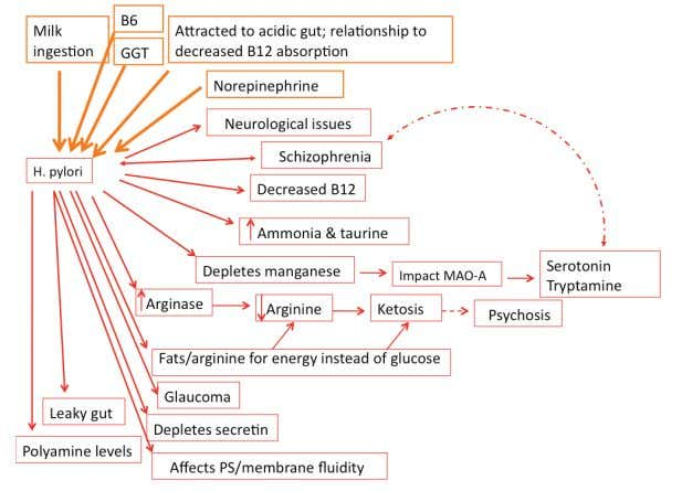 F igure 7. Pleiotropic effects of H. pylori in the body