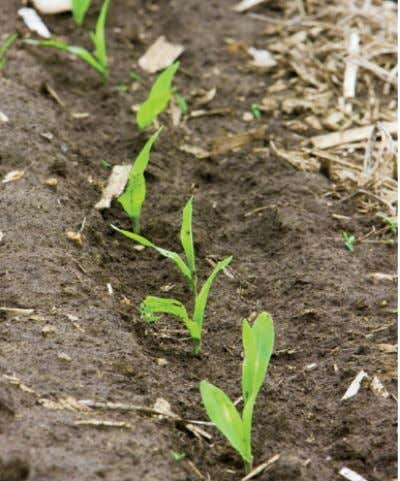 From left: Corn sprouts emerge in May, a few weeks after planting; the corn flourishes