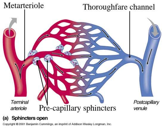 Metarteriole Thoroughfare channel Pre-capillary sphincters