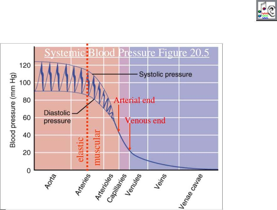 Systemic Blood Pressure Figure 20.5 Arterial end Venous end 30 elastic muscular
