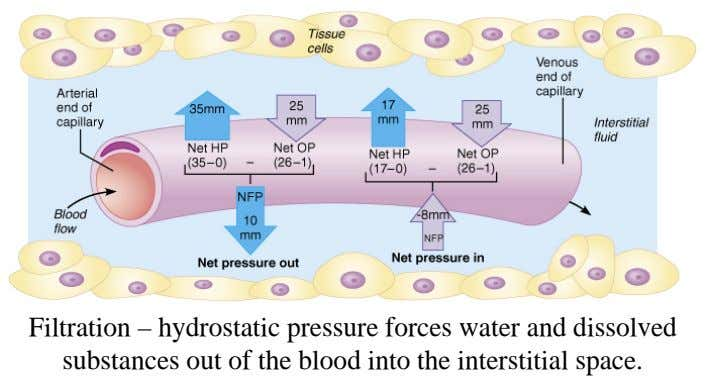 Filtration – hydrostatic pressure forces water and dissolved The lymphatic system returns excess water and