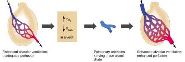 Increased alveolar ventilation CO 2 O 2 vasodilation in supplying arterioles 56
