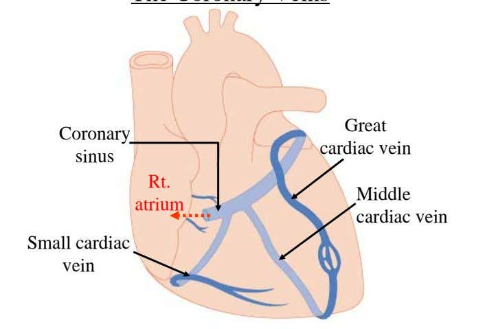 Great Coronary cardiac vein sinus Rt. Middle atrium cardiac vein Small cardiac vein 58