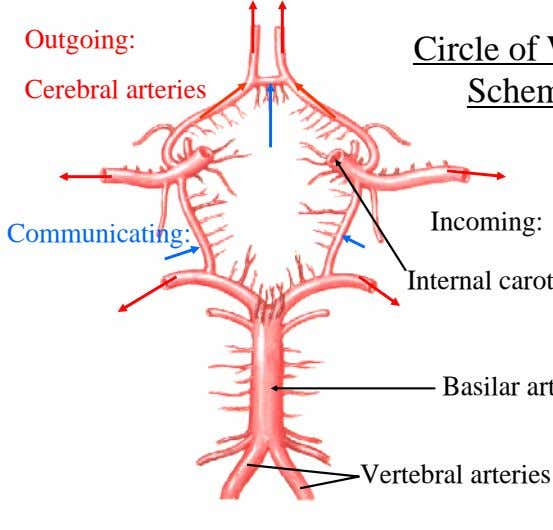 Outgoing: Cerebral arteries Incoming: Communicating: Vertebral arteries