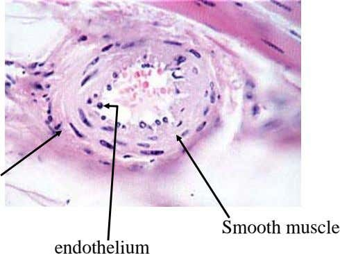 Smooth muscle endothelium