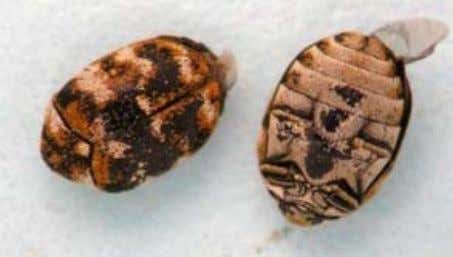 spring as they move outdoors to feed on nectar and pollen. Figure 2. Varied carpet beetles